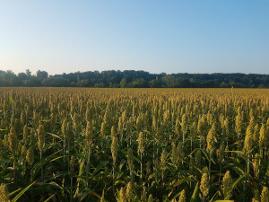 Crop field in the Tarn.