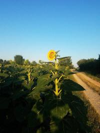 Sunflowers in the Tarn.