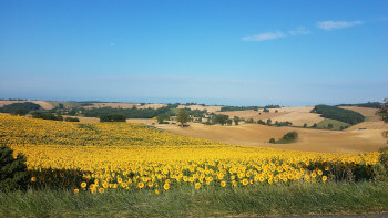 A field of sunflowers in the Tarn.